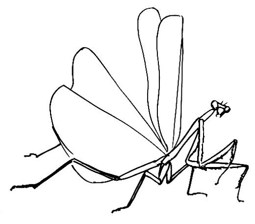 520x456 How To Draw A Praying Mantis