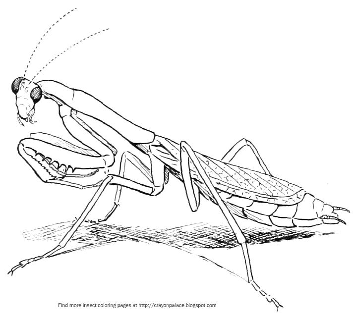 Praying mantis drawing at free for for Praying mantis coloring page