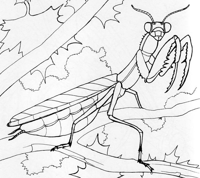 674x600 Praying Mantis Coloring Page Creativetherapytools