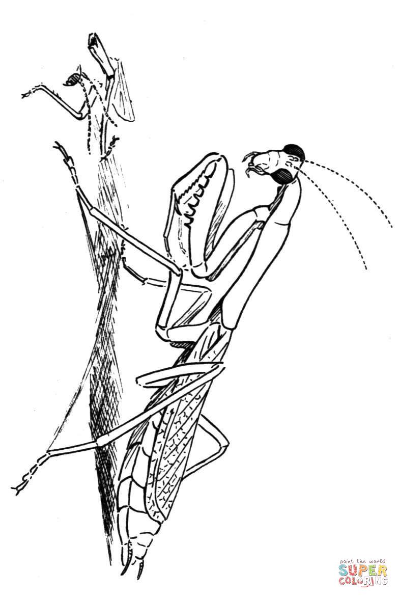 784x1174 Carolina Praying Mantis Coloring Page Free Printable Coloring Pages