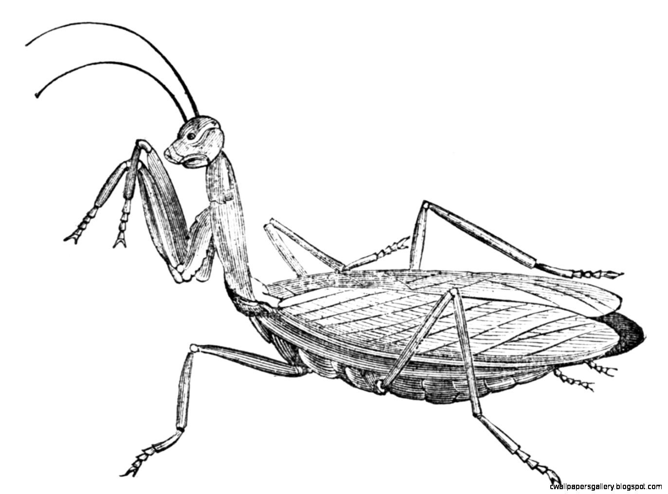 1373x1016 Praying Mantis Scientific Drawing Wallpapers Gallery