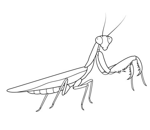 480x418 Praying Mantis Coloring Page Free Printable Coloring Pages