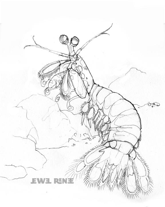 576x720 Jewel Renee Illustration Mantis Shrimp Drawing