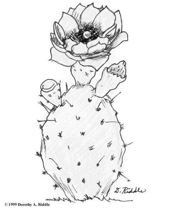 580x720 8 Best Pen Amp Ink Work Images On Cactus Drawing