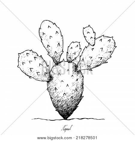 450x470 Prickly Pear Images, Illustrations, Vectors