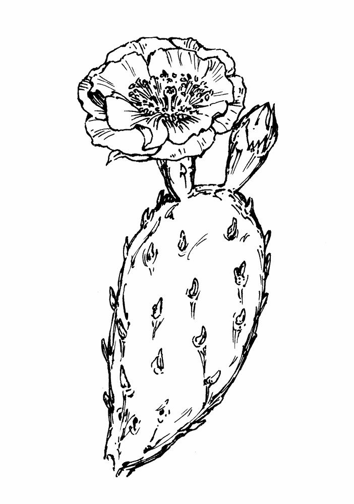 702x1000 Prickly Pear Cactus Flower Drawing