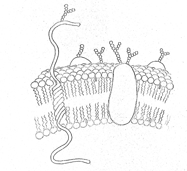 600x550 Draw It Neat How To Draw Plasma Membrane (Cell Membrane)