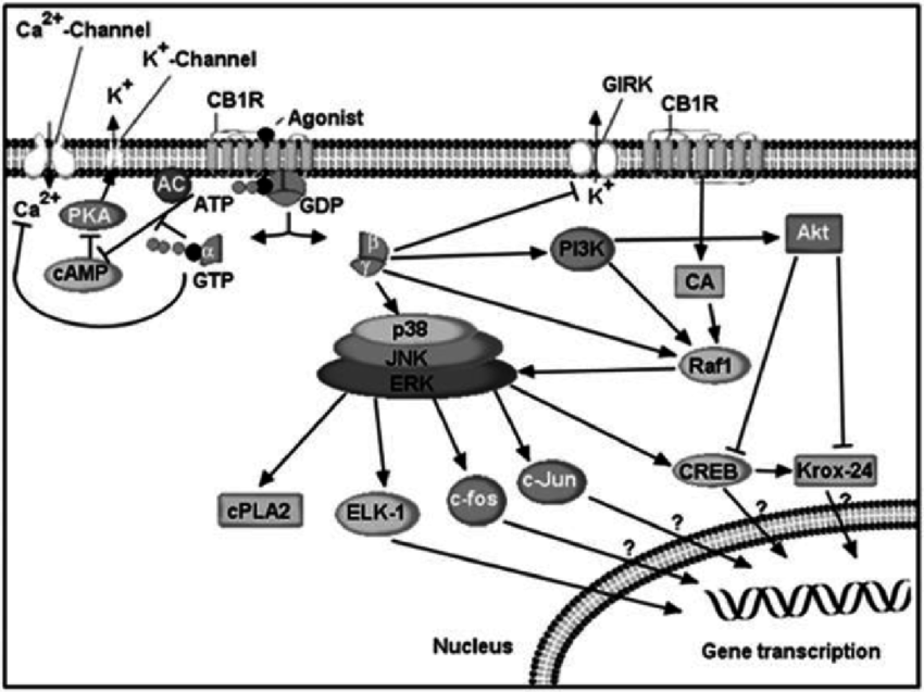 850x637 Cb1 Receptor Signaling. Cb1 Receptors Are G Protein Coupled