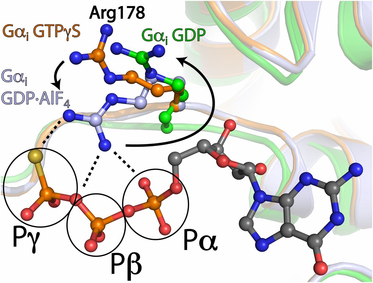 1280x971 Mechanism Of The Intrinsic Arginine Finger In Heterotrimeric G