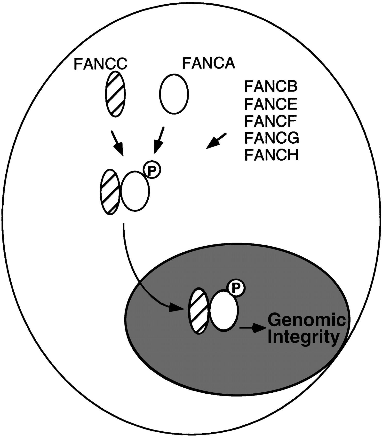 1576x1800 Regulated Binding Of The Fanconi Anemia Proteins, Fanca And Fancc