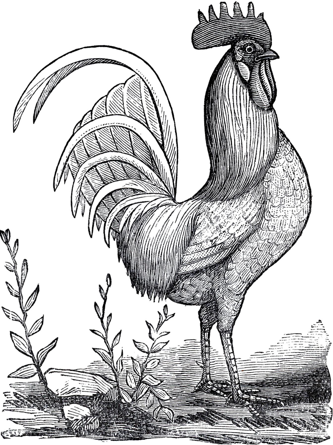 1345x1800 Public Domain Rooster Image!