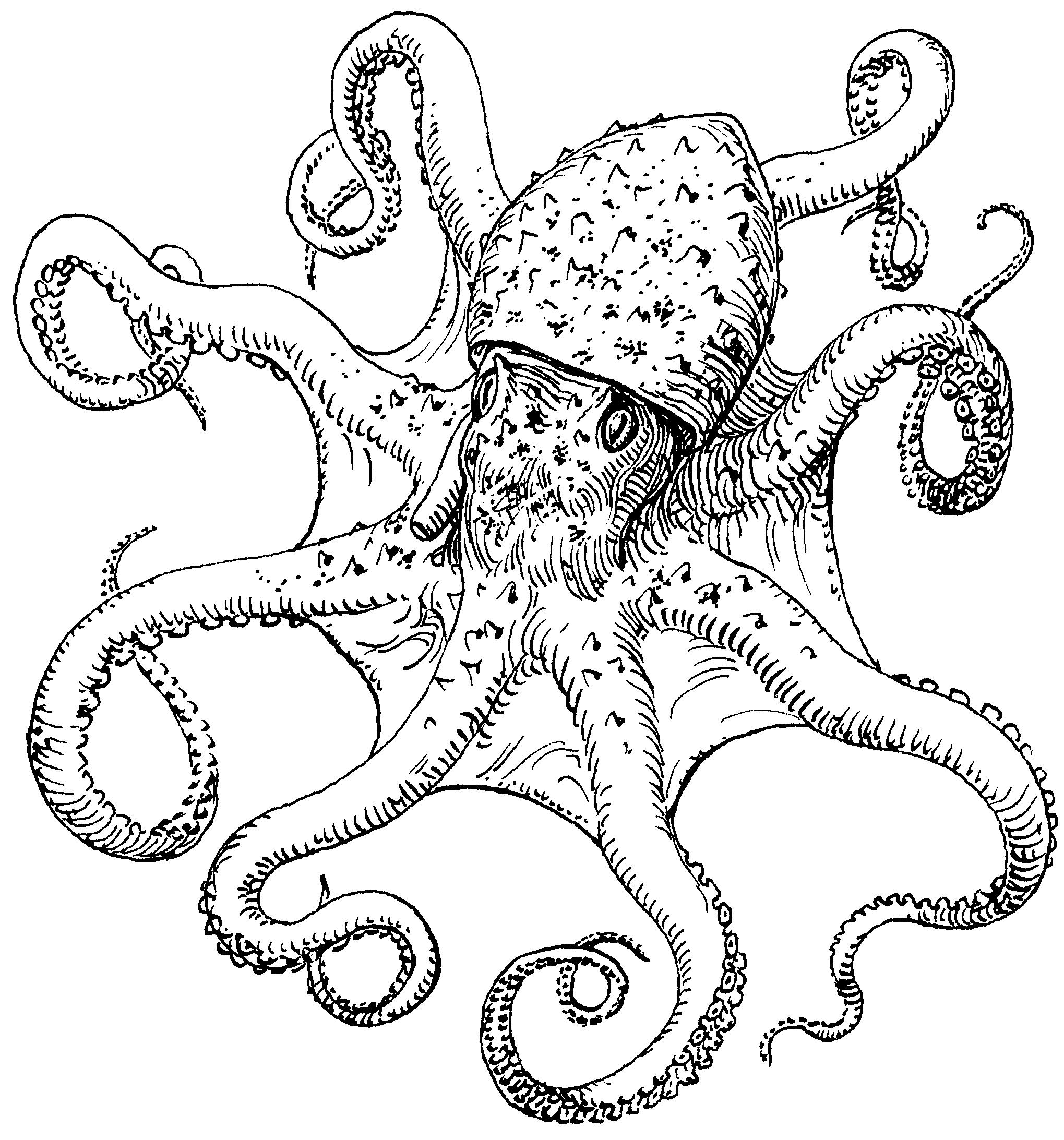 2039x2185 Octopus Art Public Domain