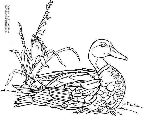 600x485 7 Best Images About Ducks On Drawings, Woodburning
