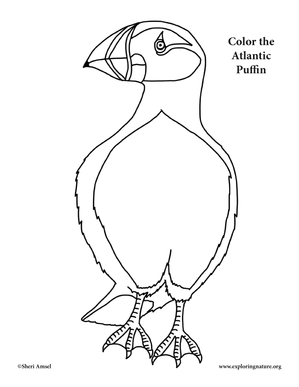 612x792 Puffin Atlantic Coloring Page