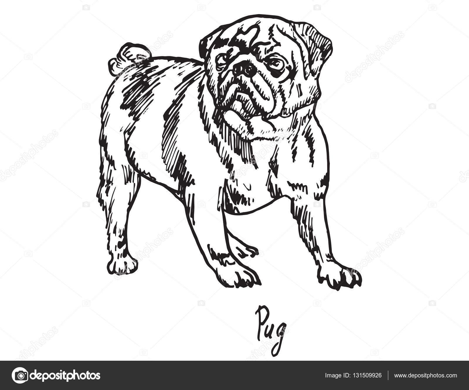 1600x1331 Pug, Hand Drawn Doodle Sketch Stock Vector Psartdesignstudio