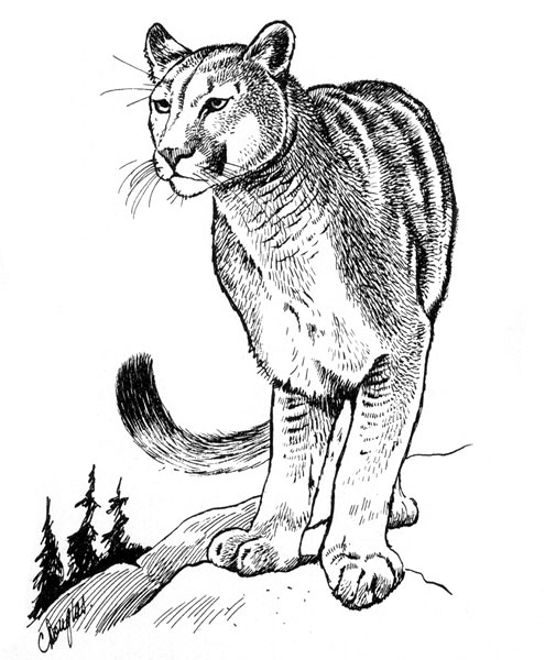 495x600 Eastern Cougar, Puma Concolor Cougar
