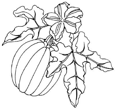 Pumpkin Vines Drawing