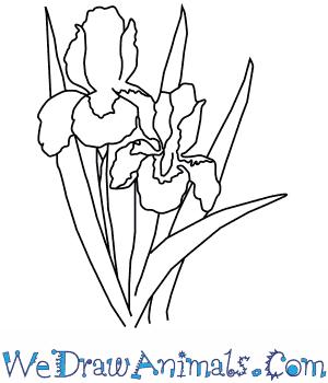 300x350 How To Draw An Iris Flower
