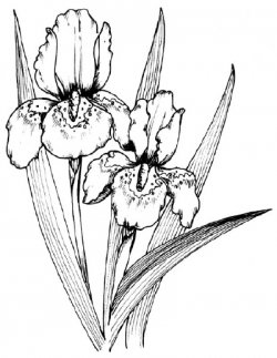250x323 How To Draw An Iris In 5 Steps Flower, Flowers And Free
