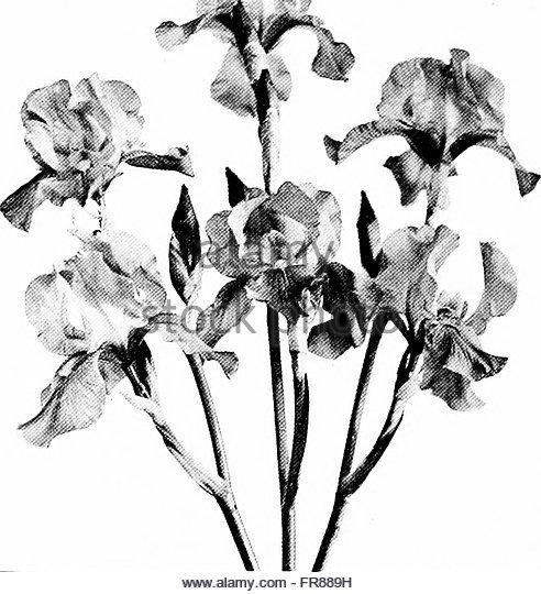 492x540 Iris Flower Black And White Stock Photos Amp Images