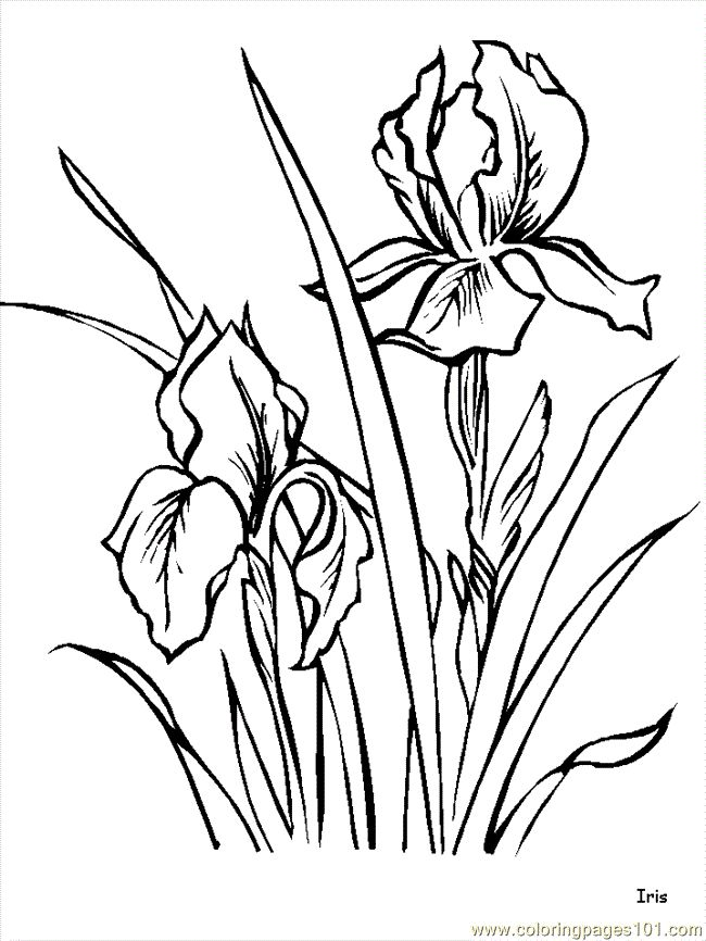 650x866 238 Best Line Drawings Of Irises Images On Drawing