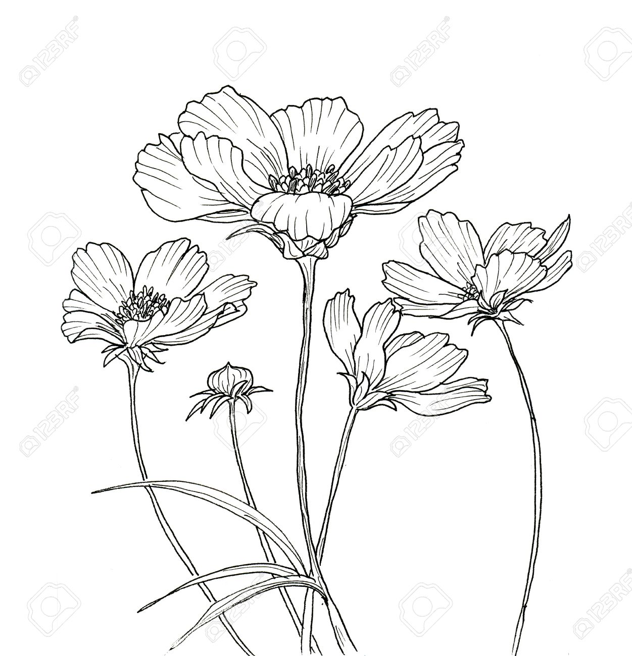 1251x1300 Line Ink Drawing Of Cosmos Flower. Black Contour On White