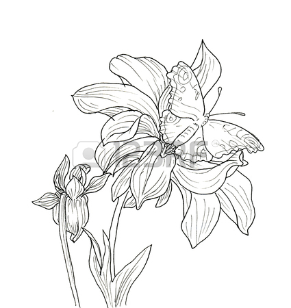 425x450 Line Ink Drawing Of Dahlia Flower With Butterfly. Black Contour
