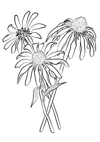 339x480 Purple Coneflower (Echinacea Purpurea) Coloring Page Free