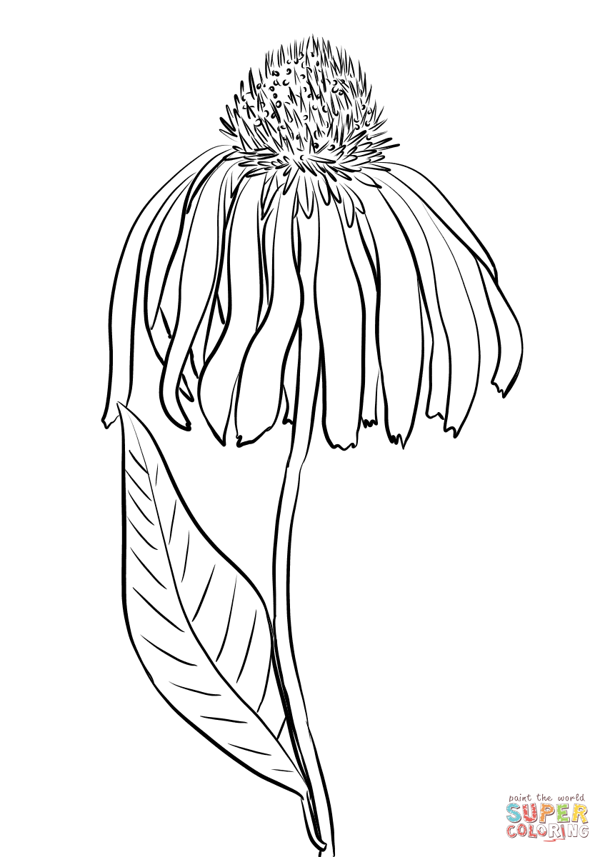 847x1200 Purple Coneflower Coloring Page Free Printable Coloring Pages