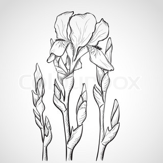 320x320 Sketch With Iris Flowers Stock Vector Colourbox