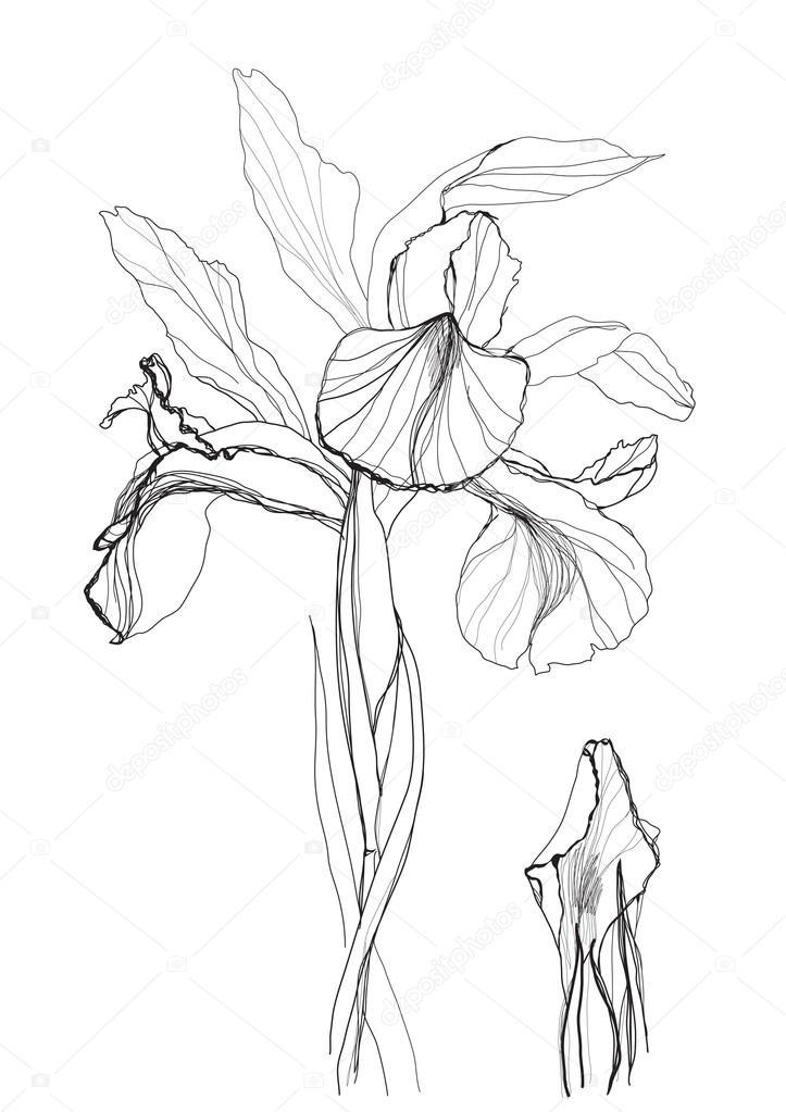 723x1023 Drawing Iris Stock Vector Vergasova