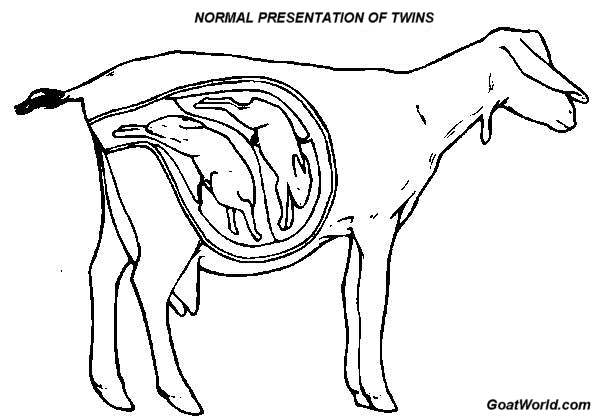 600x418 Goat And Pregnancy