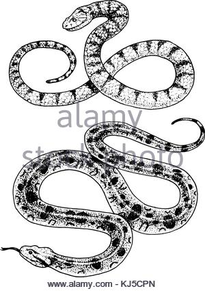 300x425 Drawing Sketch Style Illustration Of A Viper Snake Coiling Up