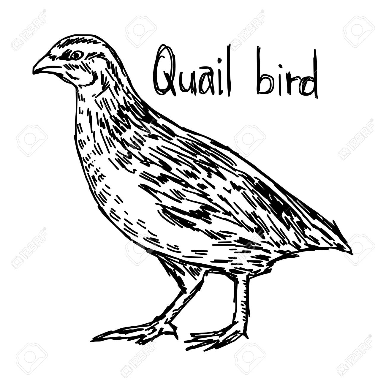 Quail Drawing at GetDrawings.com | Free for personal use Quail ...