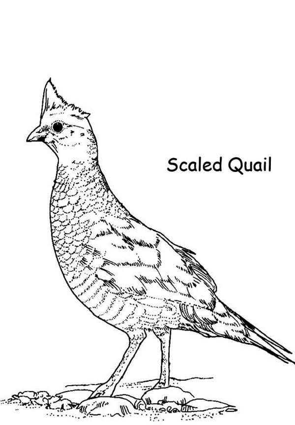 Quail Drawing At Getdrawings Com