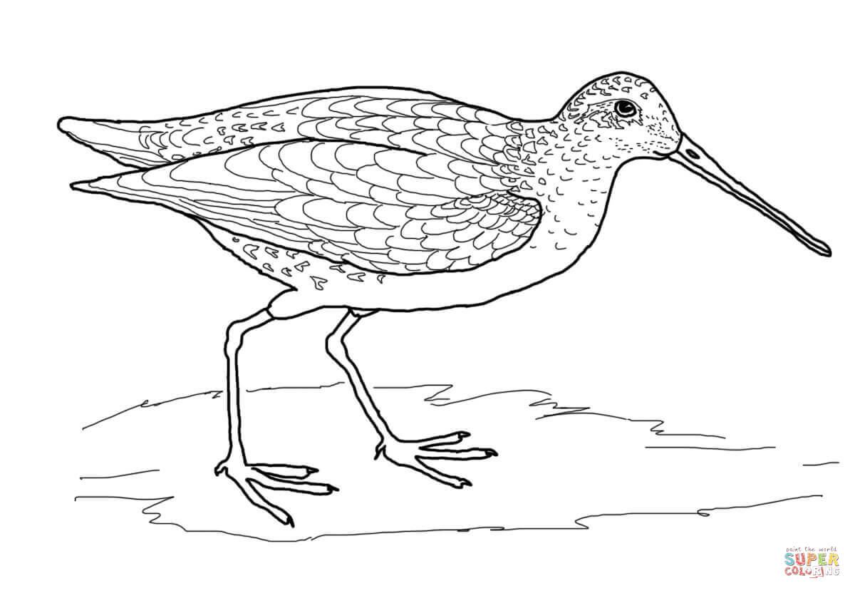 1200x832 Snipe Bird Coloring Page Free Printable Coloring Pages