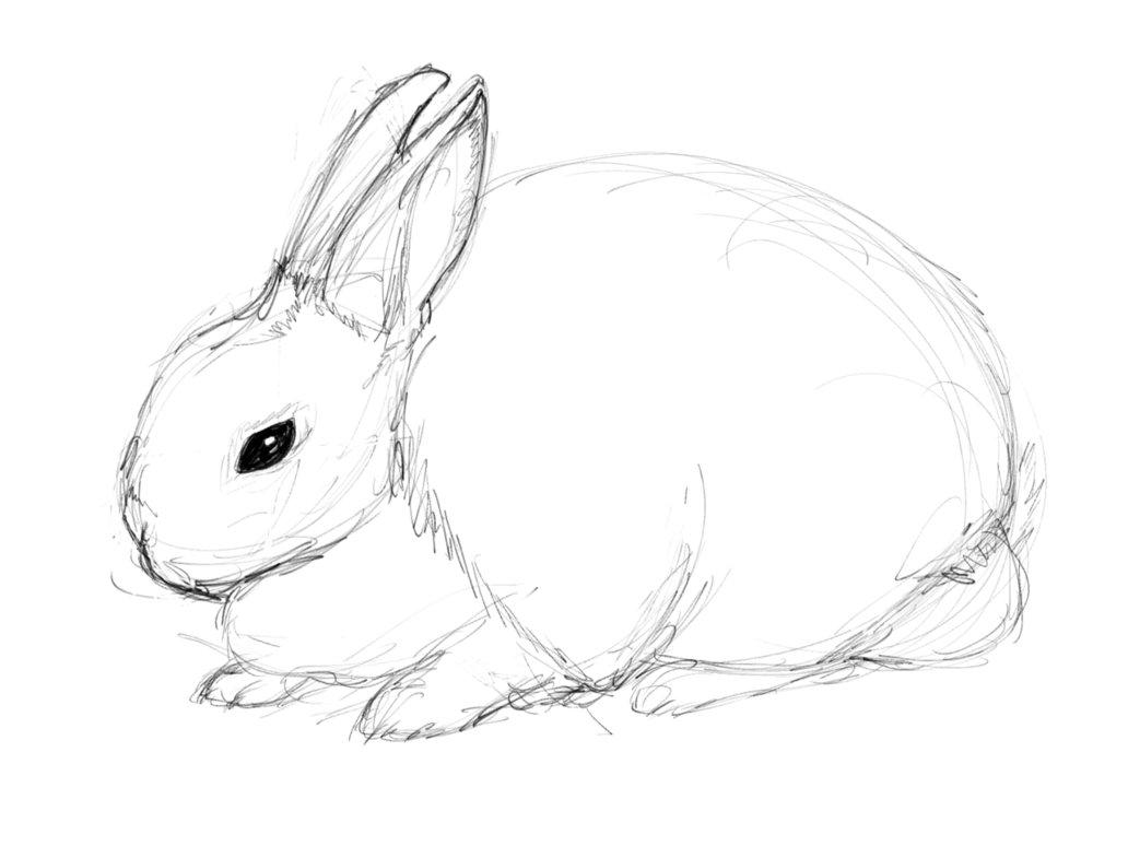 1032x774 Rex Rabbit Sketch By Amyannie14