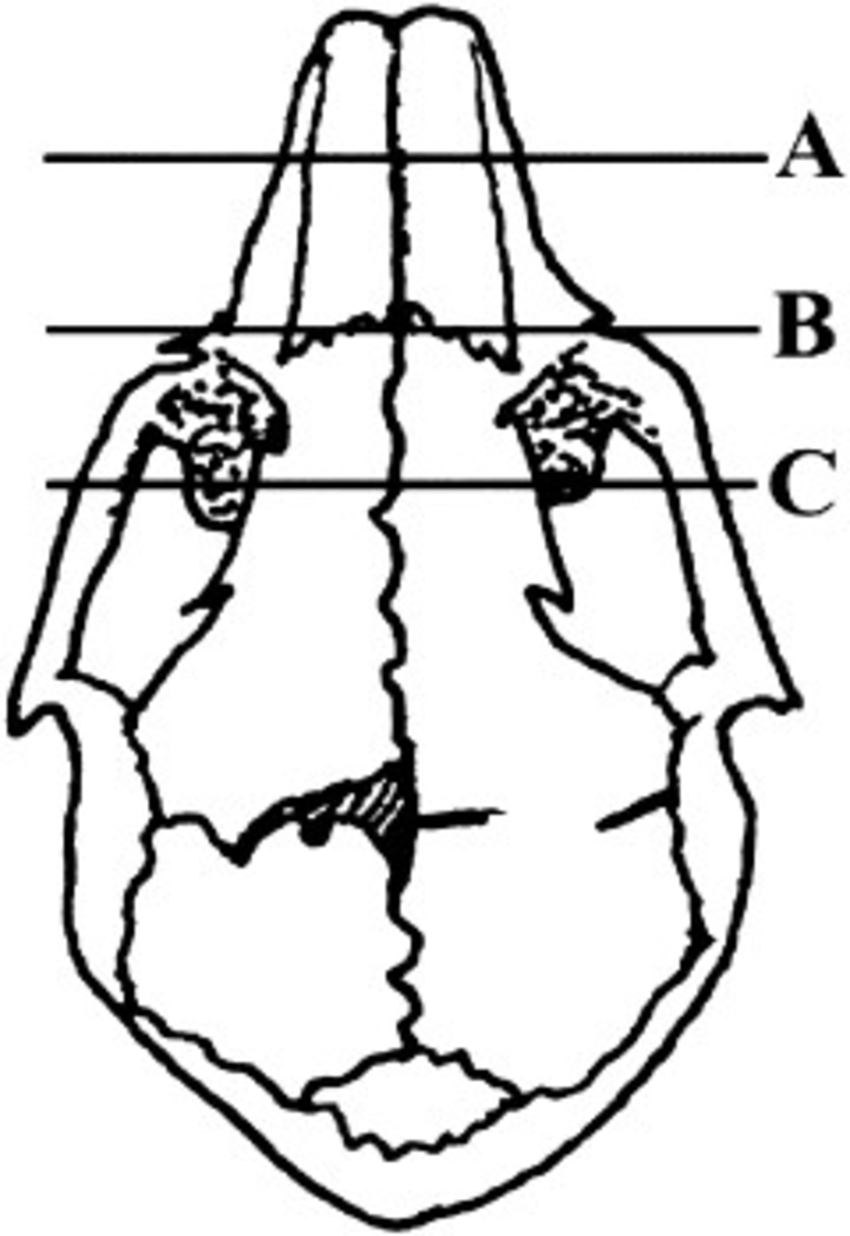 850x1236 Drawing Of A Rabbit Skull Showing Approximate Sites In