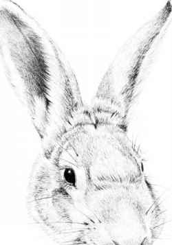 250x357 Drawing A Cottontail Rabbit