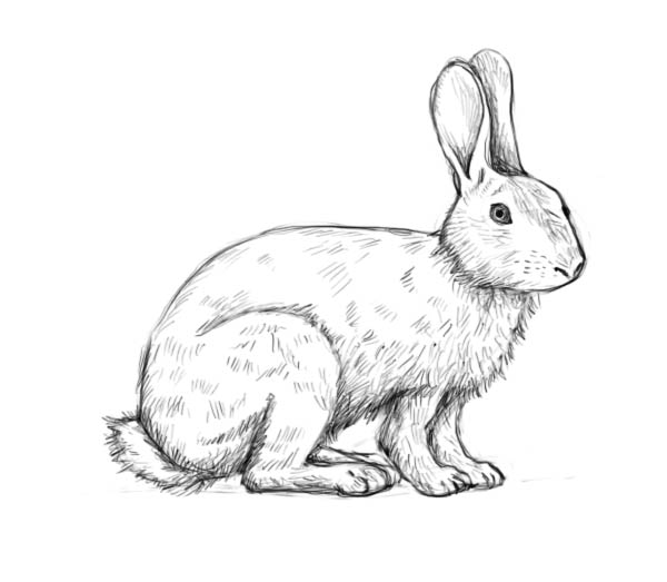 600x523 Are You Looking For A Tutorial On How To Draw A Rabbit Look No