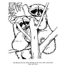 Raccoons Drawing