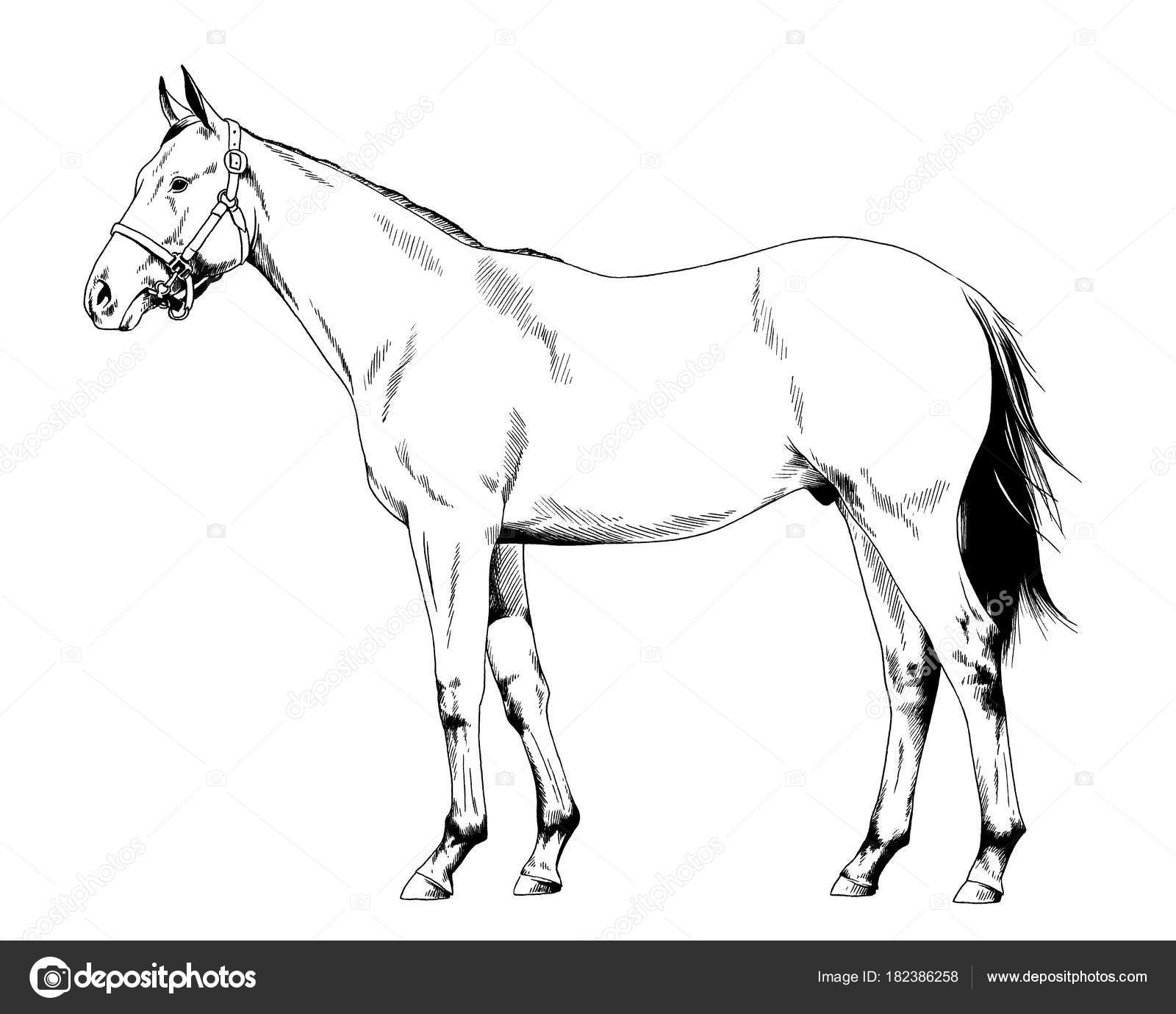 1600x1380 Race Horse Harness Drawn Ink Hand White Background Full Length