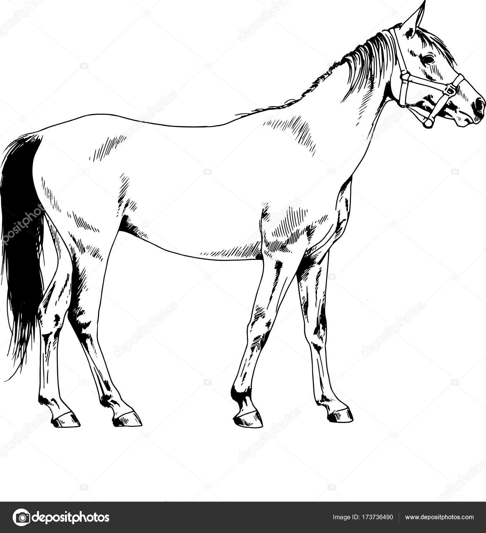1548x1700 Race Horse Without A Harness Drawn In Ink By Hand In Full Length