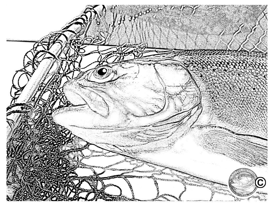 1050x788 Rainbow Trout Digital Drawing Mr. Fisherman