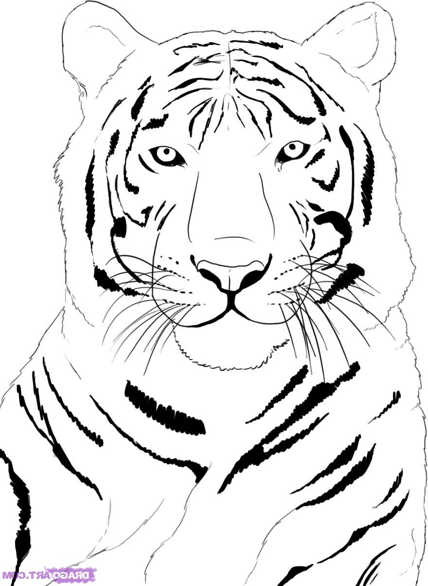 880x1206 Easy Draw Rainforest Animals White Tiger Easy Draings How