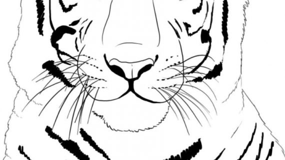 570x320 How To Draw A Tiger Face How To Draw A White Tiger Step Step