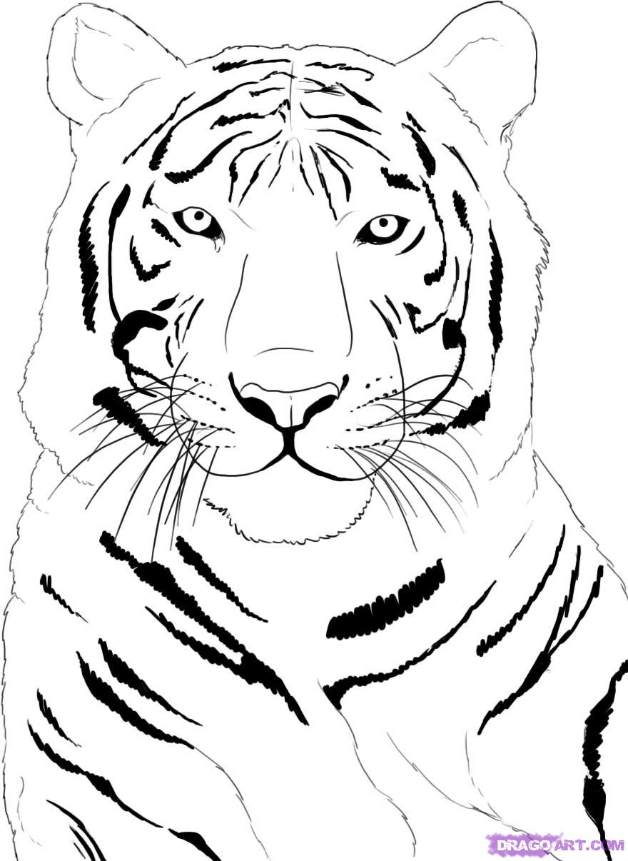 880x1206 White Tiger Easy Draings How To Draw A White Tiger, Stepstep