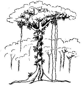351x363 Drawn Ivy Rainforest Plant