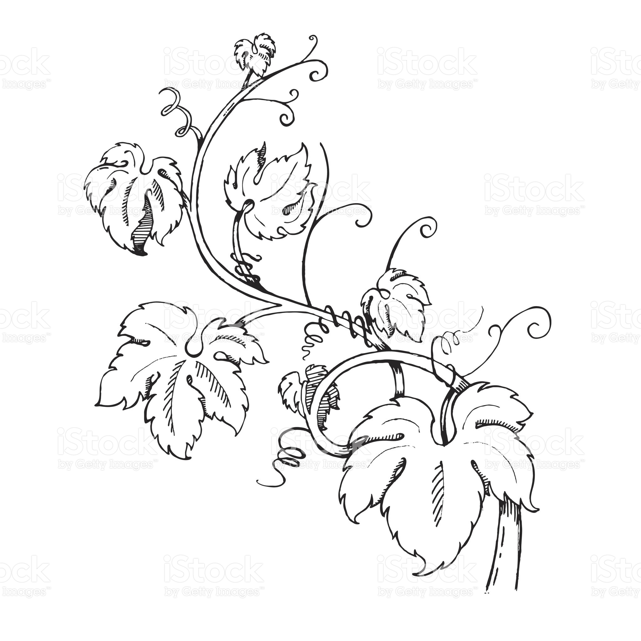 2048x2048 Grape Leaves Baroque Plants Hand Drawn Black And White