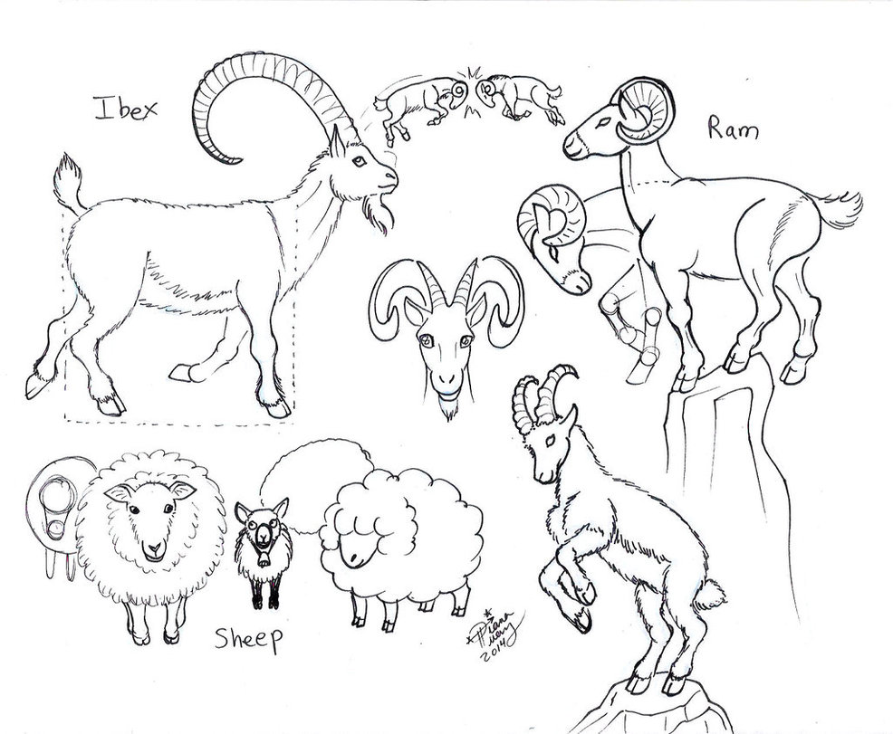 986x811 Draw Ram Ibex Sheep Goat By Diana Huang